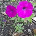 Photos: ベチュニアの花