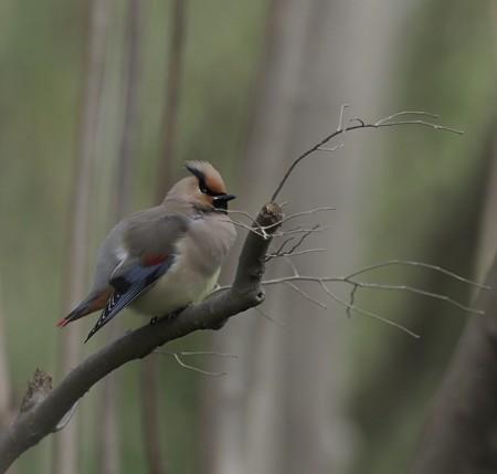 野鳥(1246)−ヒレンジャク、 飛び出し