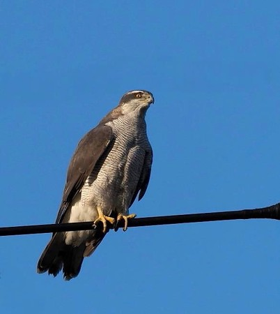 野鳥(1247)−オオタカ、 今年も営巣?