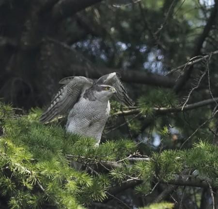 野鳥(1256)−オオタカ、飛出し