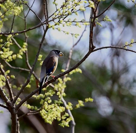 野鳥(1257)-コイカル♂、出会は4年ぶり