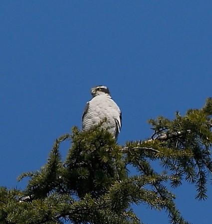 野鳥(1261)−オオタカ、青空をバックに
