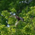チョウゲンボウ 飛翔4