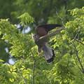 チョウゲンボウ 飛翔2
