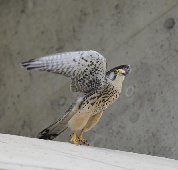 写真: チョウゲンボウ 飛翔2