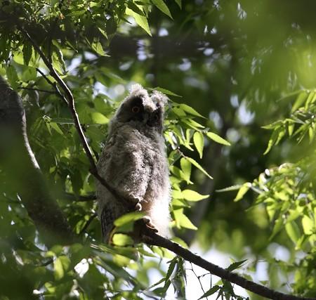 野鳥(1265)−トラフズク,  巣立ち雛