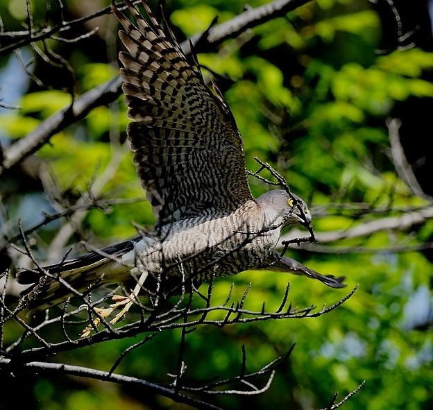 ツミ♀ 枝折り 巣材運び