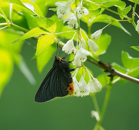蝶(12)−蝶3種、春の山中で