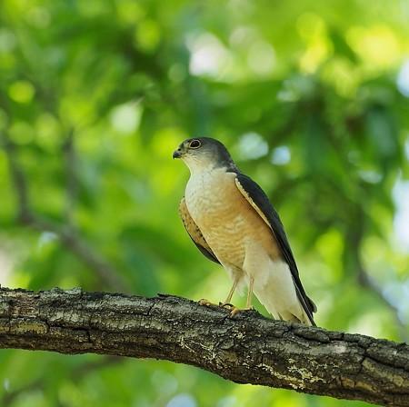 野鳥(1279)−ツミ♂♀、営巣放棄(2)