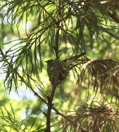 野鳥(1280)−サンコウチョウ、 暗くて遠い