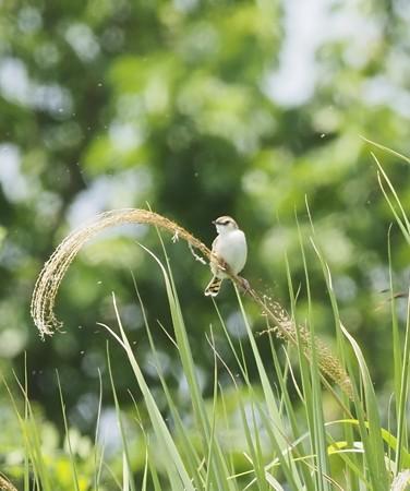 野鳥(1281)−セッカ、空高く囀り