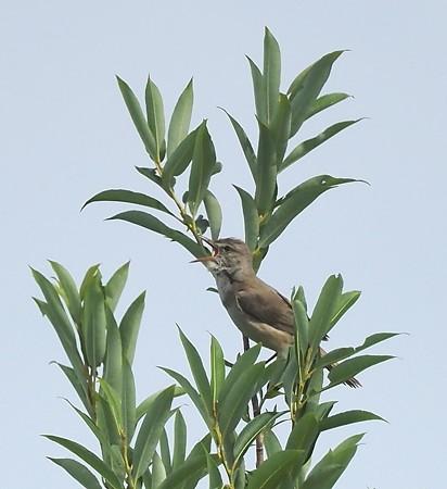 野鳥(1282)ーオオヨシキリ、鳴き声はすれど