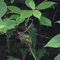 写真: サンコウチョウ♀抱卵(5)