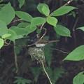 写真: サンコウチョウ♀抱卵(4)