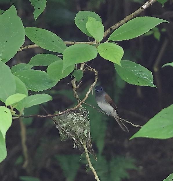 写真: サンコウチョウ♀抱卵(3)