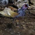 写真: サンコウチョウ 水浴(4)