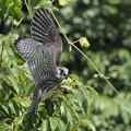 チョウゲンボウ幼鳥(4)