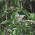 カワセミ 飛翔(3)