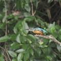 カワセミ 飛翔(2)