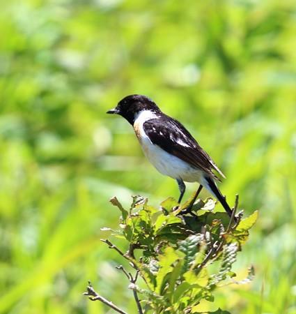 野鳥(1293)ーノビタキ、少ない