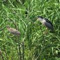 ゴイサギ成鳥と幼鳥(ホシゴイ)