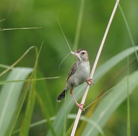 野鳥(1300)ーセッカ,  止まってくれない