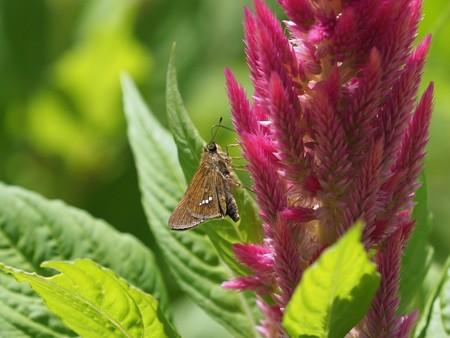 昆虫(15)−セセリチョウ、ケイトウの中に