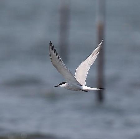 野鳥(1303)−アジサシ、浜辺の水鳥(2)