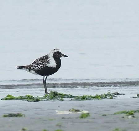 野鳥(1304)−ダイゼン、浜辺の水鳥(3)