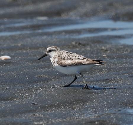 野鳥(1305)ミユビシギ他、浜辺の水鳥(4)
