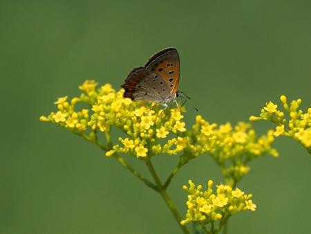 昆虫(16)ーチョウを夏花に絡めて