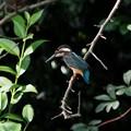 写真: カワセミ若鳥 狙いを付けて