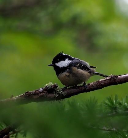 野鳥(1307)ーヒガラ、お馴染みの