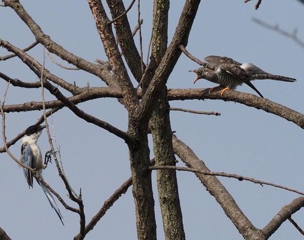 仮親オナガに餌をせがむカッコウ幼鳥(4)