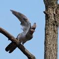 カッコウ 幼鳥(3)