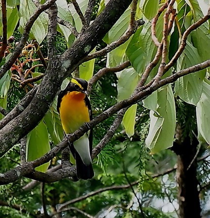 野鳥(1310)−キビタキ、 渡りの前に