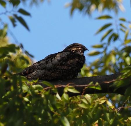 野鳥(1312)−ヨタカ、何時も寝てばっかり