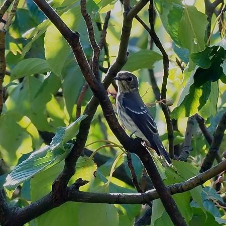 野鳥(1313)−エゾビタキ、ミズキレストラン
