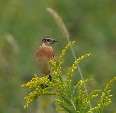 野鳥(1316)−ノビタキ、 冬羽になって