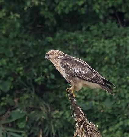 野鳥(1319)−ノスリ 若鳥 、曇天小雨も