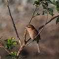 百舌鳥♀(5)
