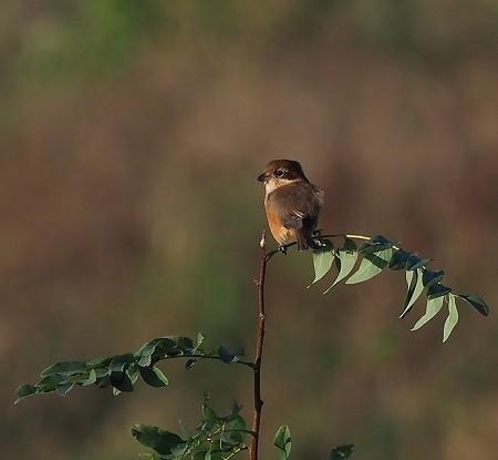 野鳥(1321)−百舌鳥、狙いの代わりに