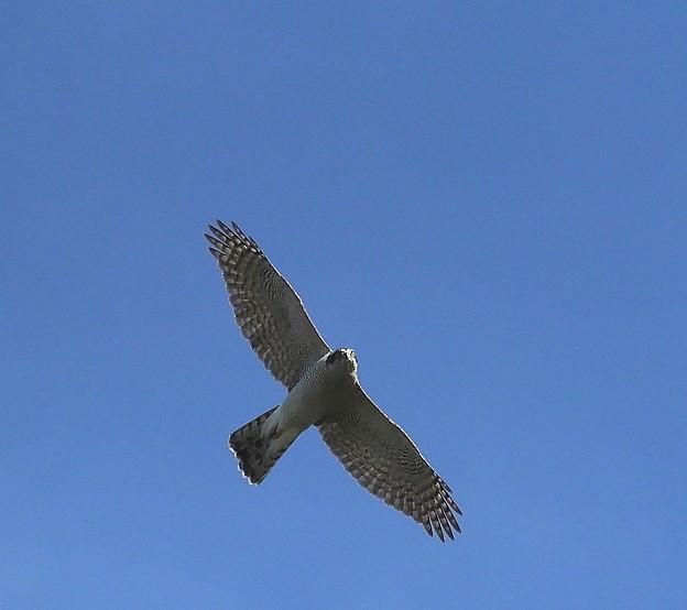 オオタカ 成鳥(2)