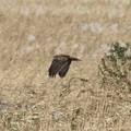 葦原を飛ぶチュウヒ(3)