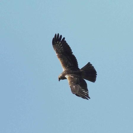 野鳥(1324)ーチュウヒ、遠い遠い!
