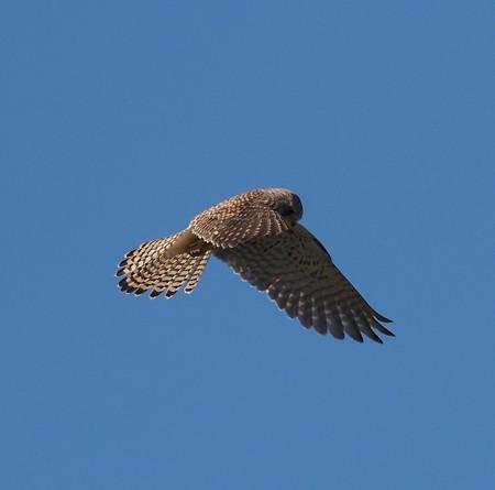 野鳥(1325)−チョウゲンボウ、長いホバリング