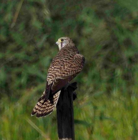 野鳥(1326)−チョウゲンボウ、飛出し飛翔