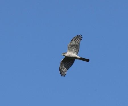 野鳥(1328)−猛禽3題、高い上空を