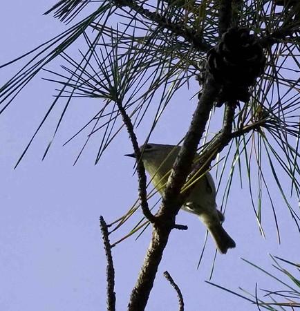 野鳥(1330)−キクイタダキ、最小の野鳥