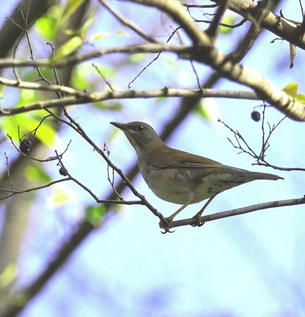 野鳥(1334)ーシロハラ、今は木の上で
